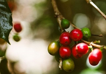 Beans - the essence of the Tolima region of Colombia